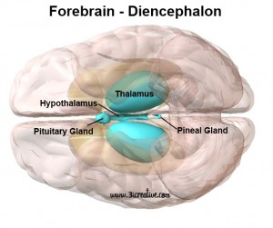 The Forebrain: Parts of the Diencephalon