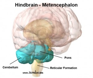 Hindbrain Metencephalon