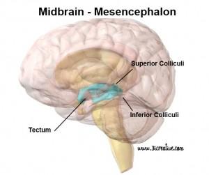 Midbrain Mesencephalon