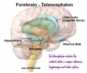 The Telencephalon & Limbic System